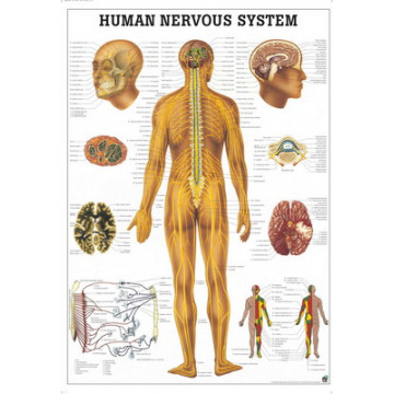 Mapa do Sistema Nervoso