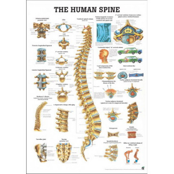 Mapa da Coluna Vertebral Humana