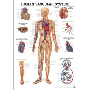 Mapa do Sistema Vascular
